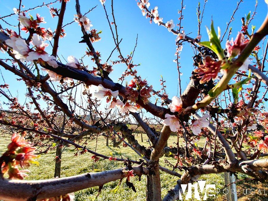 Almendros en flor en Figueira de Castelo Rodrigo
